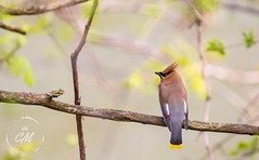 Cedar Waxwing (Cminor_photography) Tags: bird birdphotography cedarwaxwing birdwatch natgeo naturphotography nature wildlifephotography wildlife canada canon canonphotography sigma150600 sigma portrait ontario london beautiful life live love explore exploreontario tree leaves animal animalphotography wings thamesriver