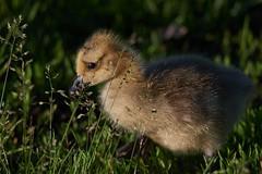 Gosling7 (cameron.tucker) Tags: gosling baby babygoose goose geese