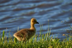 Gosling Getting Brave Near Water (cameron.tucker) Tags: gosling baby babygoose goose geese
