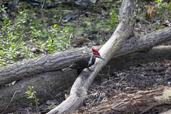 Pileated Woodpecker (Mercenaryhawk) Tags: pileated woodpecker wildlife bird birds birdwatching nature animals wood pecker redhead feathered friend minnetonka minnesota mn trees woods canon eos 5ds 5dsr 550d t2i