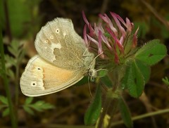 Common Ringlet Butterfly on Rose Clover. (Ruby 2417) Tags: ringlet butterfly insect wildlife nature dave moore sierra nevada sierras foothills clover