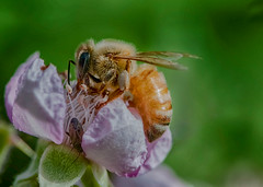 it takes two (pstrock1) Tags: sky morning wings wild macro bee nature flower close honey insect sunlite fly field