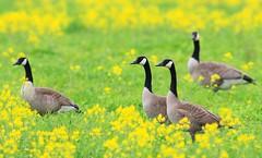 Canada geese at Cardinal Marsh IA 653A0779 (naturalist@winneshiekwild.com) Tags: canada geese cardinal marsh winneshiek county iowa larry reis