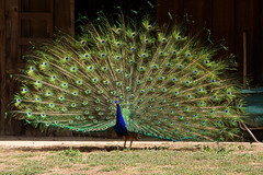 Peacock in Simi Valley California in front of barn (lilsin_805) Tags: tamron18400mm tamron18400review tamron18400nikon tamron18400mmf3563 tamron18400mmnikon tamron18400lens tamron18400mmlens wildlifephotographytips wildlifephotographycamera wildlifephotographylens wildlifephotographydefinition wildlifephotographygear wildlifephotographyhashtags wildlifephotographyinternship wildlifephotographysettings wildlifephotographyworkshops wildlifephotographyforsale wildlifephotographycontests2019 wildlifephotographyclasses wildlifephotographymagazine wildlifephotographyblinds wildlifephotographynearme wildlifephotographybooks birdphotographyworkshops birdphotographylens birdphotographytips birdphotographylosangeles birdphotographycontest birdphotographysettings birdphotographyforum birdphotographycompetition birdphotographyequipment birdphotographycamera birdphotographynearme birdphotographytutorial birdphotographybook birdphotographyhashtags birdphotographytours birdphotographywebsites birdphotographywithiphone birdphotographymagazine birdphotographyblog birdphotographyquotes peacockfeathers peacockfeathertattoo peacockfeathersforsale peacockfeathermeaning peacockfeatherdrawing peacockfeatherpainting peacockfeatherearrings peacockfeathersaj peacockfeathersmichaels peacockfeatherclipart peacockfeathercolors peacockfeatherfan peacockfeathersbackground peacockfeathersymbolism peacockfeatherart peacockfeatherdress peacockfeatherwallpaper peacockfeathersvg peacockfeatherpng peacockfeatherdesign