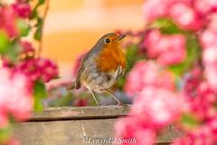 Robin Hawthorn Tree (Lynyrd J Smith) Tags: robin birds nature wildlife garden eastbourne blossom hawthorn nikon d3300 tamron 150600mm lynyrdphoto