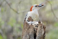 Red bellied woodpecker candids (rkramer62) Tags: backyardbirds westmichigan redbelliedwoodpecker