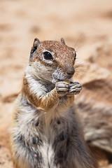 Atlashörnchen (uwe1904) Tags: fuerteventura kanarischeinseln pentaxk1 spanien uwerudowitz natur tier wildlife landschaft