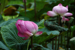 L1330919 Lotus (Rise Liao) Tags: 花 微距 葉子
