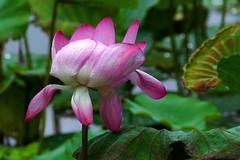 L1330920 Lotus (Rise Liao) Tags: 花 微距 葉子