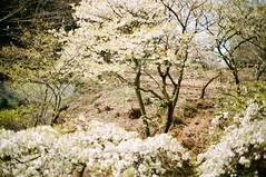 18042tanaka_suiko01 (Tokyo Sightseeing Photo Club) Tags: 20190407 tamaforestsciencegarden sakura cherryblossoms 多摩森林科学園 桜