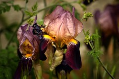 Iris (Eusèbe Kainzow) Tags: fleur iris couleurs printemps jardin pétales pollen loire