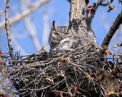 First Glimpse (jrlarson67) Tags: greathornedowl owlet tree nest birdofprey raptor nikond850