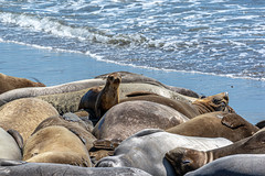 Young Seal amongst the Adults at Piedras Blancas (donjd2) Tags: cambria elephantseal piedrasblancas sansimeon california unitedstatesofamerica