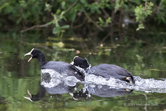 Coots - Woods Mill (013) (Malcolm Bull) Tags: include woods mill nature reserve 20190519woodsmill0013edited1web coot