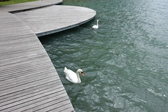 Swan @ Lake Annecy @ Petit Port @ Annecy-le-Vieux (*_*) Tags: europe france hautesavoie 74 annecy annecylevieux savoie spring printemps 2019 may petitport lacdannecy lakeannecy animal bird swan cygne