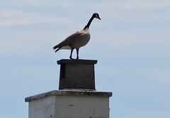 Crazy Goose on Chimney Top (Irene, W. Van. BC) Tags: crazygooseonchimney goose canadagoose rooftops chimneys largebirds animalsandbirds geese birdsofafeather birdwatch birdsofbc bcbirds pacificcoastbirds sky skies skyscenes outdoors outdoorscenes 1001nightsthenew 1001nightsmagiccitythenew 1001nightsmagicpeacock