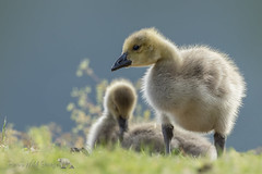 Cute and Fuzzy (PamsWildImages) Tags: gosling canada goose britishcolumbia bird baby nature naturephotographer wildlife wildlifephotographer canon 1dxmarkii pamswildimages pammullins