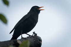 Black singer (hedera.baltica) Tags: blackbird commonblackbird eurasianblackbird kos koszwyczajny turdusmerula