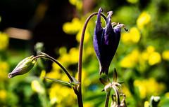 6M7A5863 (hallbæck) Tags: akeleje aquilegia akelej columbine blomst flower plant virum denmark