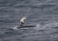 Humpback whales on its side having fun - slapping the waves (Paul Cottis) Tags: swim swimming humpback whale pectoral fin southernocean southgeorgia cetacean marine mammal paulcottis 28 january 2019 jan