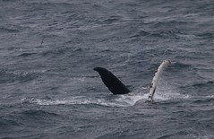 Pectoral fin and tail slapping from a humpback whale (Paul Cottis) Tags: swim swimming humpback whale pectoral fin southernocean southgeorgia cetacean marine mammal paulcottis 28 january 2019 jan
