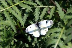 kleine weisse Dame (Maggi_94) Tags: orangetip aurorafalter anthochariscardamines weisling weislinge pieridae insekten insekt insecta schmetterling schmetterlinge tagfalter weibchen female
