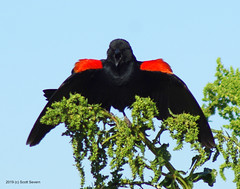 Red-winged Blackbird telling me to get out of his flight path (Scott Severn) Tags: lake elizabeth redwinged blackbird
