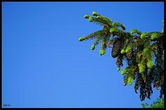 Der Tannenzapfen (tingel79) Tags: natur nature baum outdoor world day sonya6500 sony blauundgrün photographie photography blueandgreen