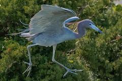 Little Blue Heron (Kevin E Fox) Tags: littleblueheron heron blue bird birdwatching birding birds birdphotography birdinflight bif oceancity welcomecenter newjersey nj sigma150600sport sigma shorebirds shorebird nature nikond500 nikon