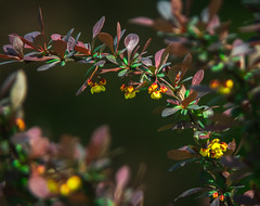 Ottawa Barberry (bolex.ua) Tags: nature barberry plant leaves color spring may blossom bush oldlens юпитер37а nikon nikond5300 листья барбарис весна старыеобъективы май park beauty