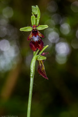 Fly Orchid (Ophrys insectifera) (BiteYourBum.Com Photography) Tags: dawnandjim dawnjim biteyourbum biteyourbumcom copyright©2019biteyourbumcom copyright©biteyourbumcom allrightsreserved uk unitedkingdom gb greatbritain england canoneos7d canonefs60mmf28macrousm canonmacrotwinlitemt26exrt apple imac5k lightroom6 ipadair appleipadair camranger manfrotto055cxpro3tripod manfrotto804rc2pantilthead loweproprorunner350aw sussex westsussex southdowns southdownsnationalpark westdean westdeanwood orchid orchids wildorchids nativeorchids orchidaceae fly ophrys insectifera flyorchid ophrysinsectifera