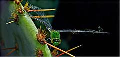Tattered Dragonfly (Small Creatures) Tags: anamorphic cinemascope d60 cactus dragonfly isco iscorama closeup iscoramacloseup iscoramamacro nikkorh85mm newcastle nikond60 nikon phidippusaudax spider texas youngcounty rural reversedlenses repurposing