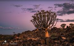 Köcherbaum (petraherdlitschke) Tags: africa afrika namibia nature naturephotography landscape landschaft baum köcherbaum outofafrica outdoors canon sunset tropical tree outside clouds flora light