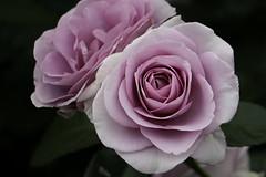 purple rose, Nagai Botanical Garden, Osaka (jtabn99) Tags: osaka japan nippon nihon nagai higashisumiyoshi 20190519 garden park rose plant flower 紫の薔薇 バラ 長居公園 長居植物園 大阪 日本 東住吉区 植物 花