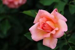 rose, Nagai Botanical Garden, Osaka (jtabn99) Tags: osaka japan nippon nagai higashisumiyoshi rose flower plant 20190519 バラ 薔薇 長居 大阪 日本 長居公園 長居植物園 東住吉区 park garden