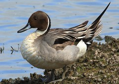 Pintail (Male) (Cal Killikelly) Tags: pintail duck chocolate brown burtonmerewetlands rspb nature wildlife wild bird dee estuary birding photography canon