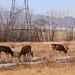 Deer - Rocky Mountain Arsenal National Wildlife Refuge - Denver, Colorado