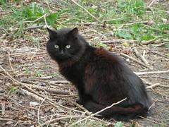 Kirky Kitty (Glass Horse 2017) Tags: cleveland redcar kirkleatham kirkleathammuseumgrounds blackcat longhaired fluffy mousing
