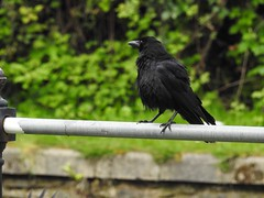 Carrion Crow, Monmouthshire-Brecon Canal, Five Locks, Pontnewydd, Cwmbran 20 May 2019 (Cold War Warrior) Tags: corvuscorone carrioncrow canal pontnewydd cwmbran