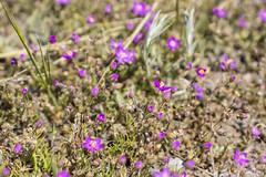 Nictagináceas (lebeauserge.es) Tags: cerveradebuitrago madrid españa naturaleza campo
