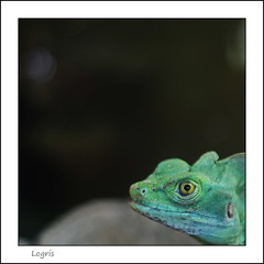 Hi, what do you want from me? (Logris) Tags: reptil reptile terrazoo terrarium zoo tier animal minimal detail canon