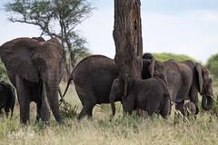 Family Herd (iamfisheye) Tags: oliverscamp 300mm vr nikon f4 asilia d500 elephants tanzania2018 afs safari pf tarangirenationalpark animal