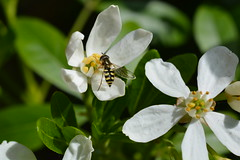 Eupeodes corollae (suekelly52) Tags: eupeodescorollae hoverfly flower insect diptera