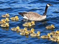 Seattle, Lake Union, Canadian Geese and goslings DSCN4168 (ianw1951) Tags: birds geese seattle unitedstates usa washingtonstate