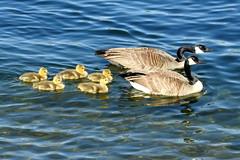 Seattle, Lake Union, Canadian Geese and goslings DSCN4159 (ianw1951) Tags: birds geese seattle unitedstates usa washingtonstate