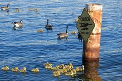Seattle, Lake Union, Canadian Geese and goslings DSCN4165 (ianw1951) Tags: birds geese seattle unitedstates usa washingtonstate