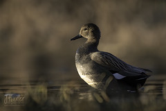 Gadwall 2 (J.Hunter Photography) Tags: