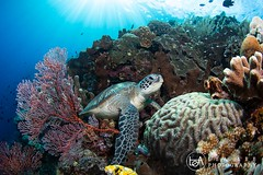 My sweet home (Lea's UW Photography) Tags: lealee canon5dmk3 subal canonef815mm fisheye wideangle bunaken underwater turtle