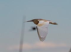 19 05 2019 (cathyk31) Tags: oiseau crabierchevelu ardeolaralloides ardéidés pélécaniformes squaccoheron bird