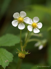 Wild Strawberry (ExeDave) Tags: p5189537 wild strawberry fragaria vesca rougemont gardens exeter devon sw england gb uk plant flora flower wildflower rosaceae nature may 2019 park urban greenspace white two fruit